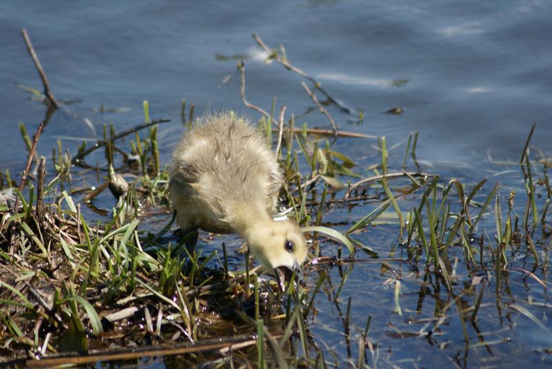 Baby Canada Goose feeding