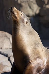 Sea Lion, Denver Zoo, CO, 0349
