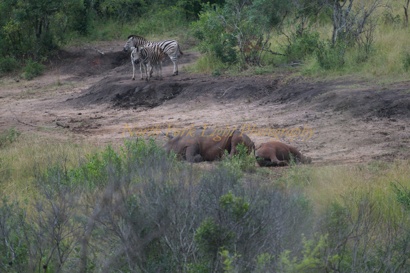 Rhinos laying in the mud at dry water hole. Zebra are not sure whether they should approach.