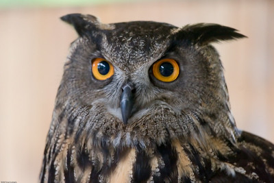 Eagle Owl, Denver Zoo, CO, 5628