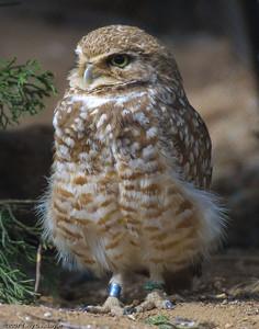 Owl, San Diego Zoo, CA, 1314