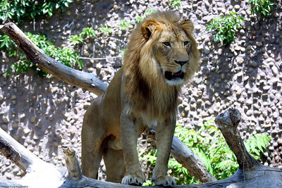 Lion, Denver Zoo, CO, 0836