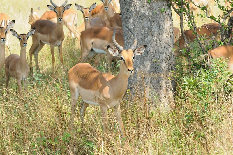 Impala buck on the alert. South Africa