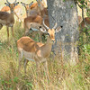 Impala buck on the alert. South Africa