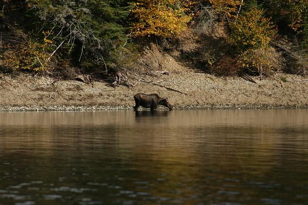 Moose on Aziscohos Lake, Maine