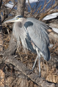 Heron, Platt River, Denver, CO, 0127