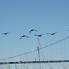 Canada geese and Lions Gate Bridge