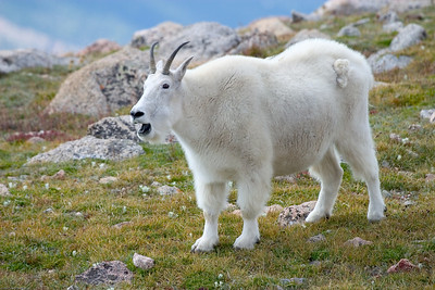Mountain Goat, Mt  Evans, CO, 7635