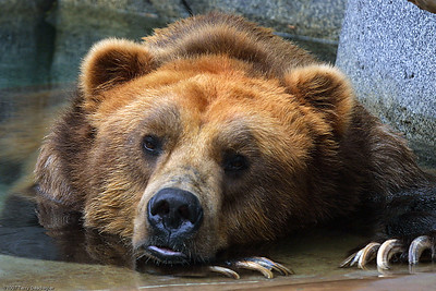 Lounging Grizzly, San Diego Zoo, CA, 1167
