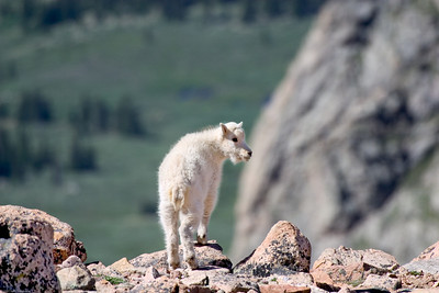 Mountain Goat, Mt  Evans, CO, 7330