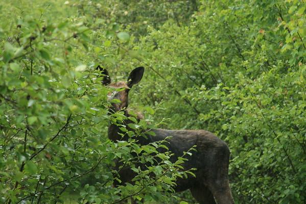 Moose in Maine