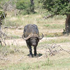 Eastern Cape Buffalo