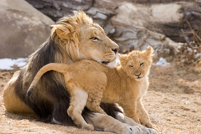 Lions, Denver Zoo, CO, 0599