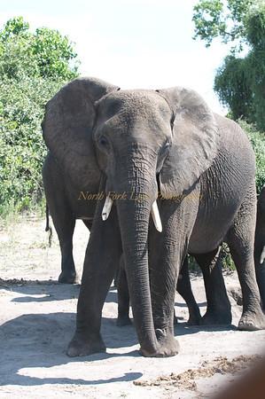 Elephant stares us down.