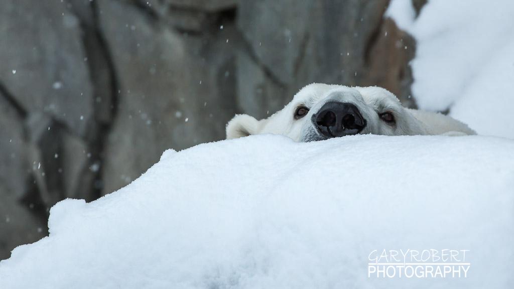 Polar Bear Peek a Boo!