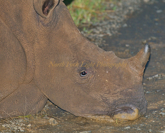 Stubborn Rhino