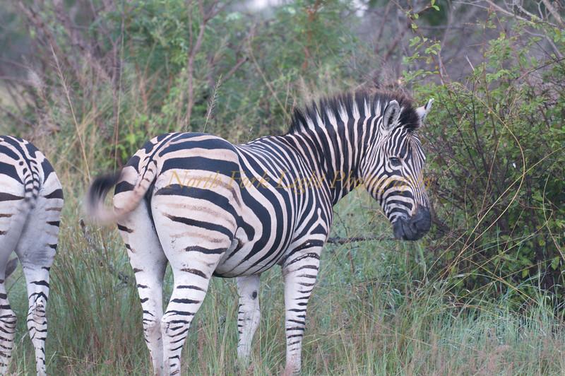 Zebra tail swish.