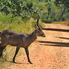 Waterbok crosses the road in South Africa