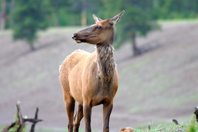 Elk, Yellowstone Nat  Park, WY,  7150