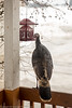 turkey at sunflower feeder0023