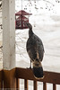 turkey at sunflower feeder0022