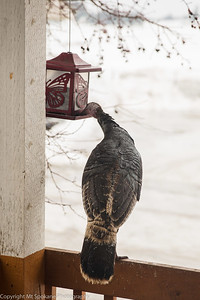turkey at sunflower feeder0028