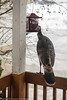 turkey at sunflower feeder0025