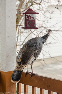 turkey at sunflower feeder0019