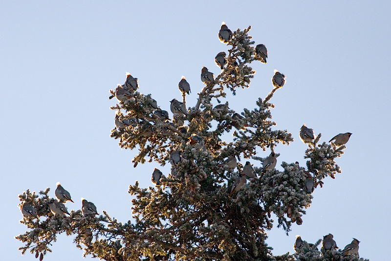 Friday, January 13, 2006 - Bohemian Waxwings congregate on the top of a spruce tree.  These birds fly the skys of Anchorage in huge flocks as they hunt for and then decimate the berries found on Mountain Ash trees. This was a cold day with temps. in the teens.  You can see the frost on the trees and the birds feathers are all puffed up, conserving heat. This flock was found near Turpin Road, near Muldoon.