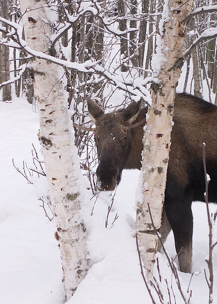 A young bull moose peers through the 'V' formed by a couple of birch trees in the Westchester Lagoon park near downtown Anchorage - winter 2006-2007.