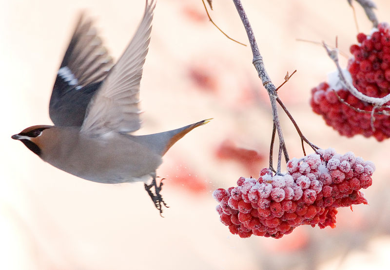 Friday, January 13, 2006 - A bohemian waxwing takes flight off of a bunch of mountain ash berries after feeding.