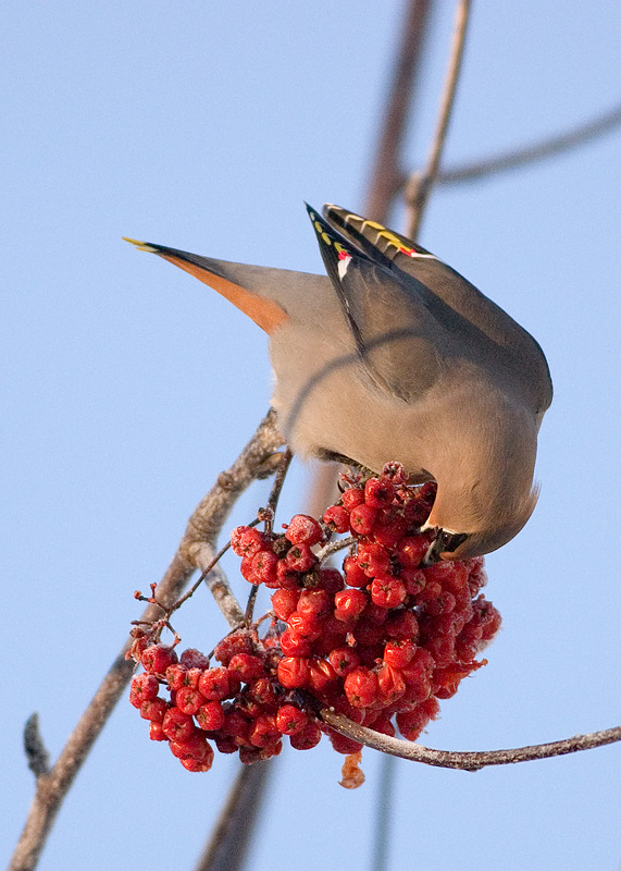 Friday, January 13, 2006 - A bohemian waxwing digs out a frozen mountain ash berry for lunch.