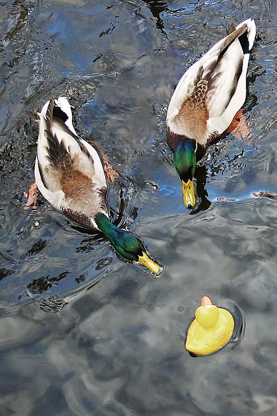 Little Duck - Big Pond