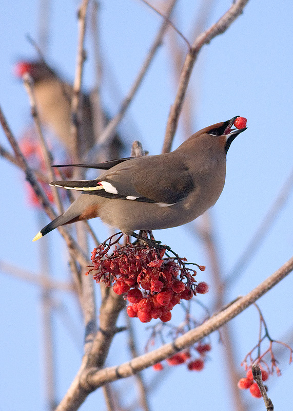 Friday, January 13, 2006 - A bohemian waxwing positions a mountain ash berry for swallowing. Large flocks of these birds can easily strip the numerous berries on one tree in a matter of minutes.