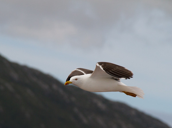 Seagull, Norway