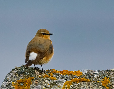 Northern Wheatear at Herdla, outside Bergen