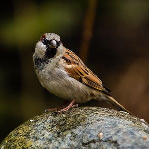 House Sparrow, Madlaforen, Stavanger, Norway, March 2014