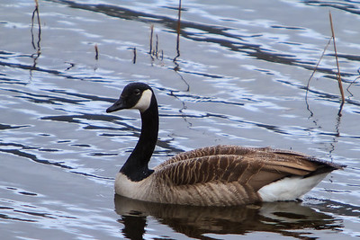 Canada Goose, Kalandvann, outside Bergen, Norway, March 2014