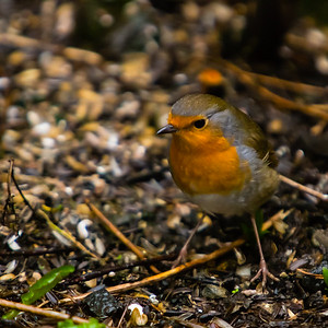 European Robin, Madlaforen, Stavanger, Norway, March 2014