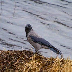 Hooded Crow, Kalandvann, outside Bergen, Norway, March 2014