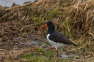 Eurasian Oystercatcher, Kalandvann, outside Bergen, Norway, March 2014