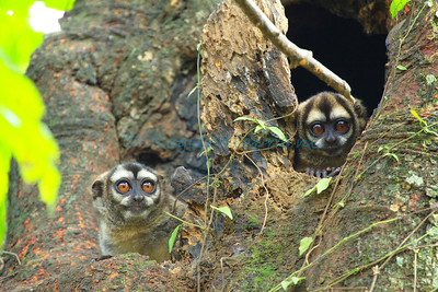 Aotus lemurinus (Gray-bellied night monkeys) - Meta Department Colombia