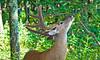 Whitetail 12 point buck