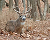 8 point Whitetail Buck