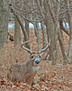 Whitetail buck 8 point