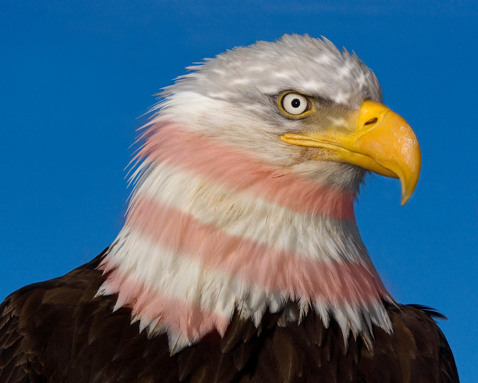 Bald Eagle with American Flag layer