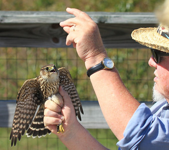 Eastern Shore Wildlife  Merlin