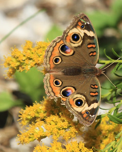 Eastern Shore Wildlife Butterfly