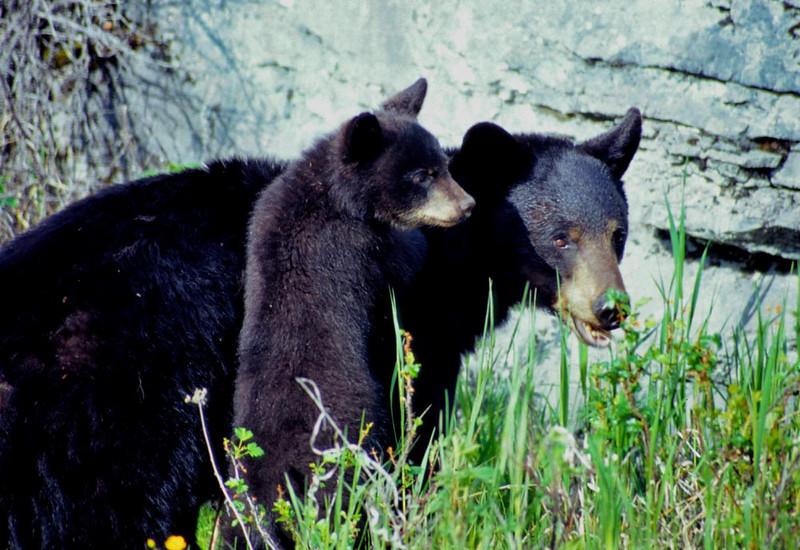 (BE-9901)  Black bear mother and cub - Alberta