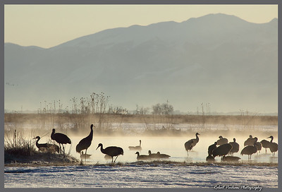 (BI-10058)  Sandhill cranes gathered at Monte Vista National Wildlife Refuge in Colorado during the spring migration.